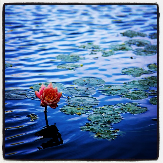 red-water-lily-1